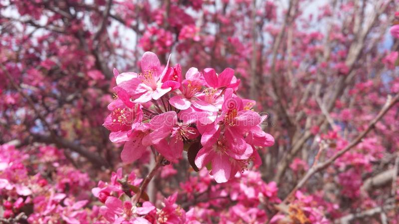 Crabapple Blossoms stock image