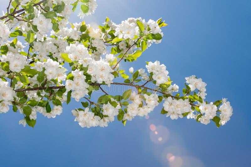 Crabapple floresce contra um céu azul foto de stock royalty free