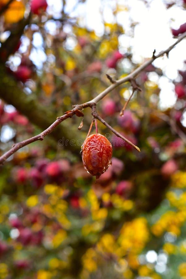 Crabapple owoc na drzewie zdjęcie stock