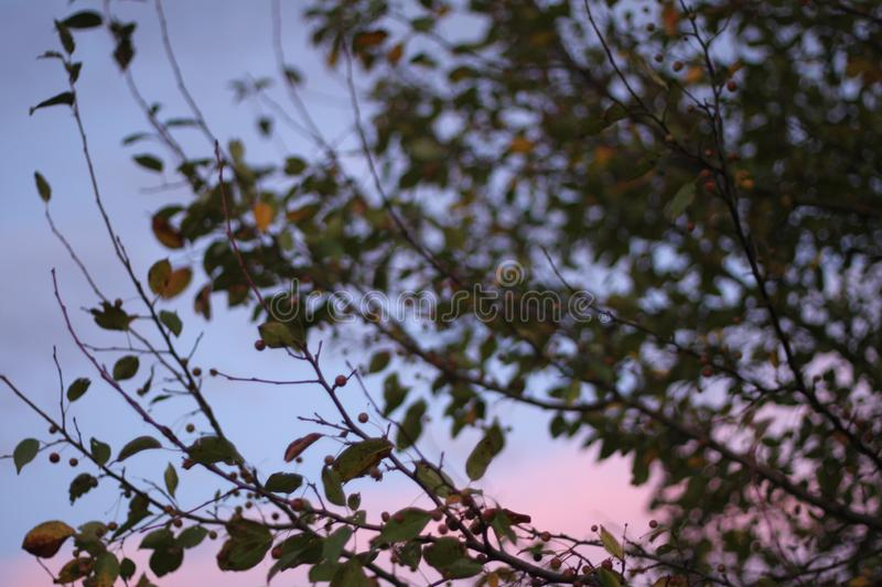 Crabapple silhouettes 2644 stock images