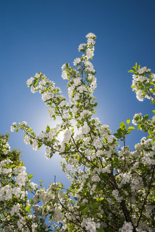 Crabapple trädfilial med blomningar arkivfoton