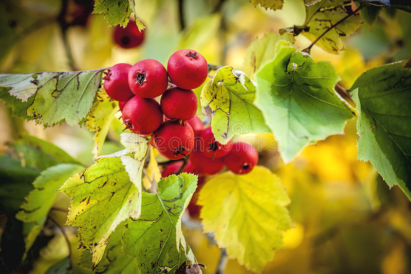 Crabapple tre in autumn. stock photo