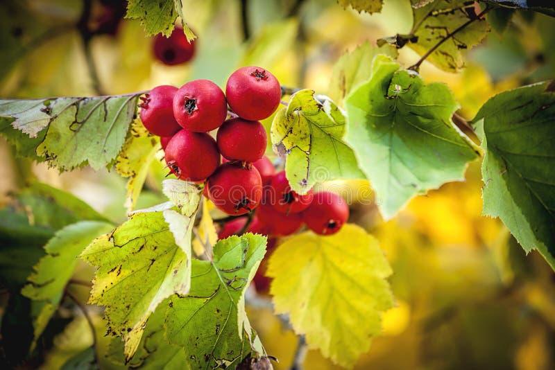 Crabapple tre w jesieni zdjęcie stock