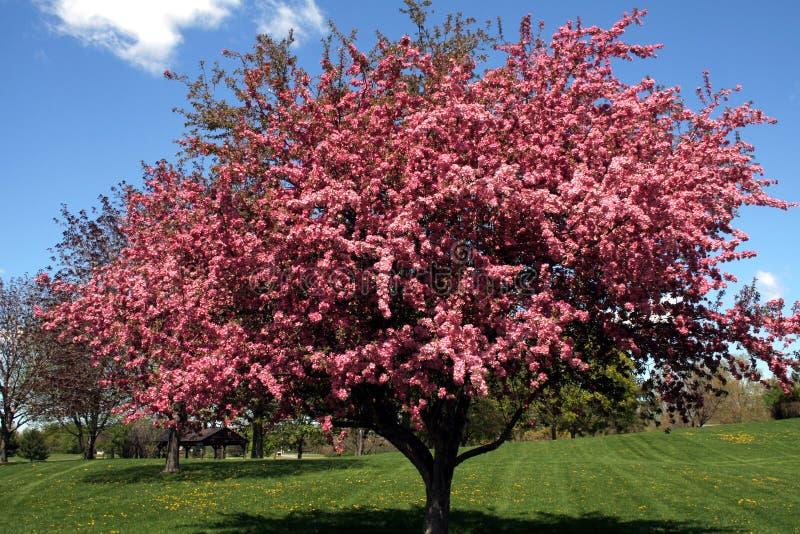 Crabapple Tree stock photos