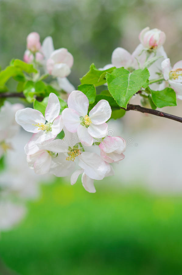 Free Crabapple Tree Blossoms Royalty Free Stock Photography - 53839717