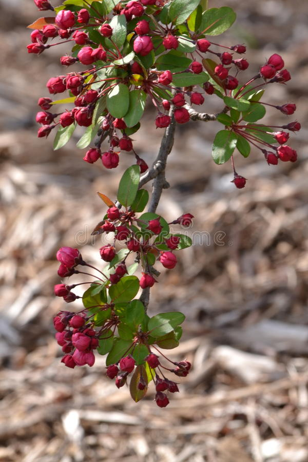 Crabapple stock images