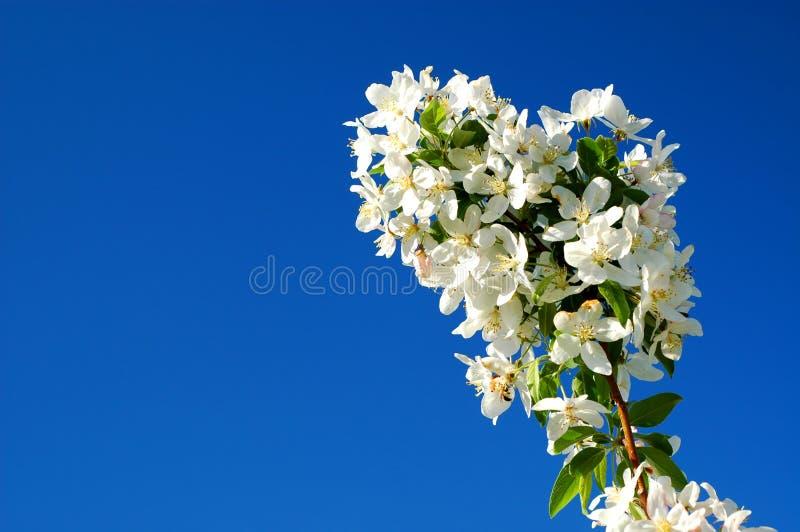 Download Crabapple1 stock image. Image of leaf, fragrant, blue - 27920405