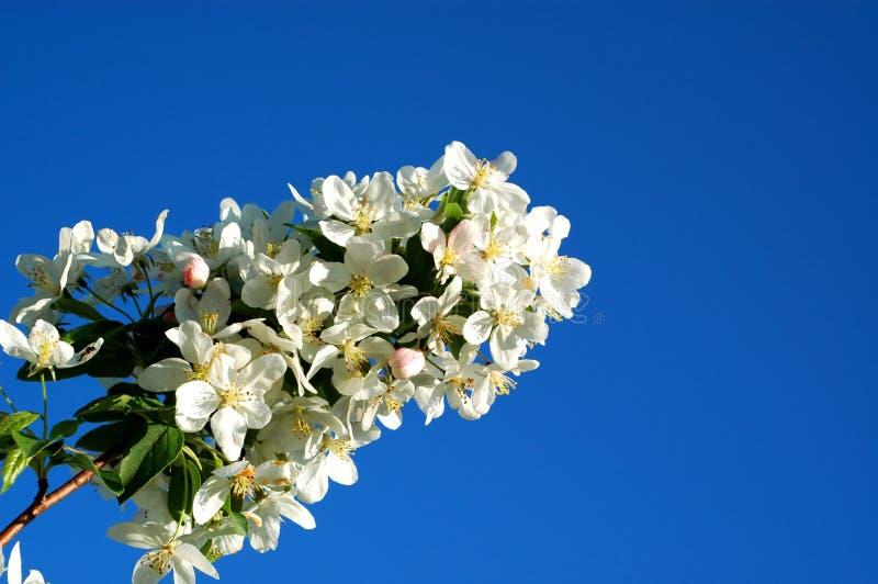 Download Crabapple2 stock image. Image of budding, fragrance, flowering - 27920411