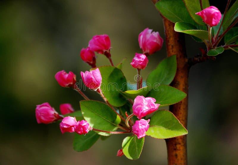 Crabapplebloemen stock afbeelding