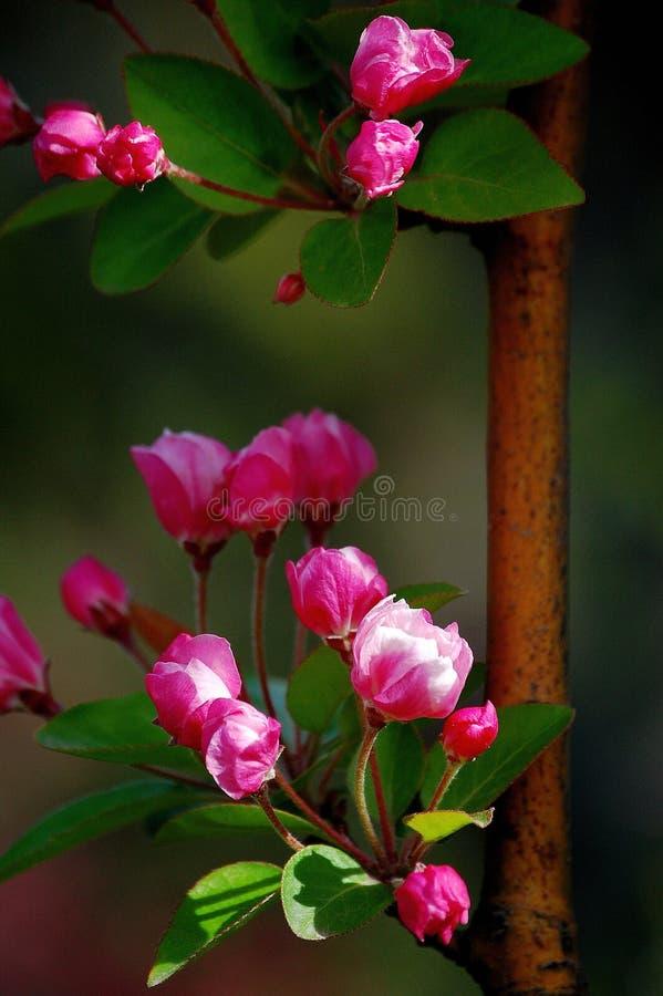 Crabapplebloemen stock afbeeldingen