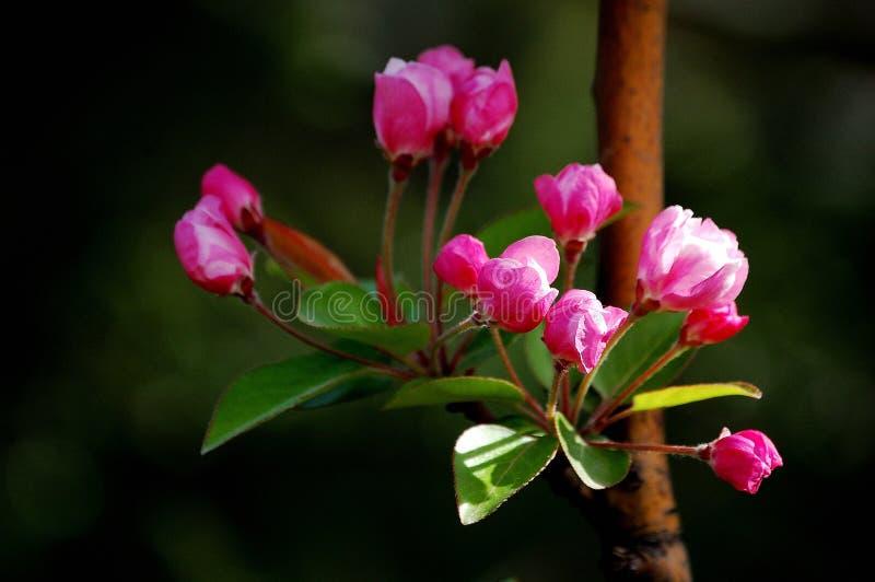 Crabapplebloemen stock foto