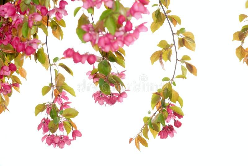 Crabapplebloemen stock foto's