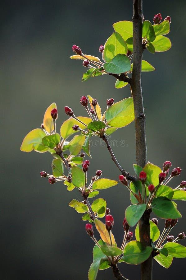 Crabapplebloemen royalty-vrije stock foto's