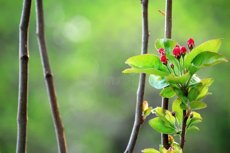 Crabapplebloemen royalty-vrije stock fotografie