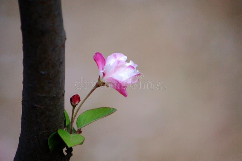 Crabapplebloemen royalty-vrije stock foto