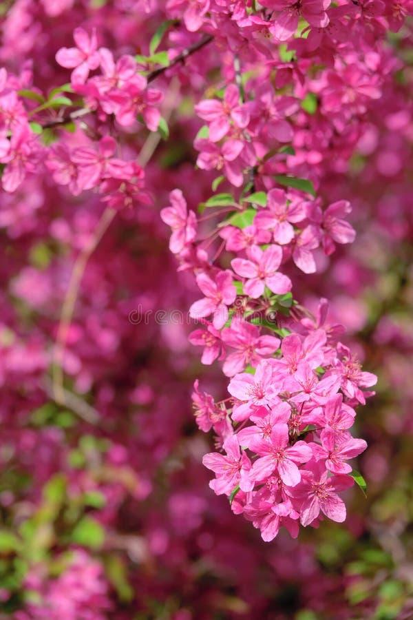 Crabapplebloemen royalty-vrije stock afbeelding