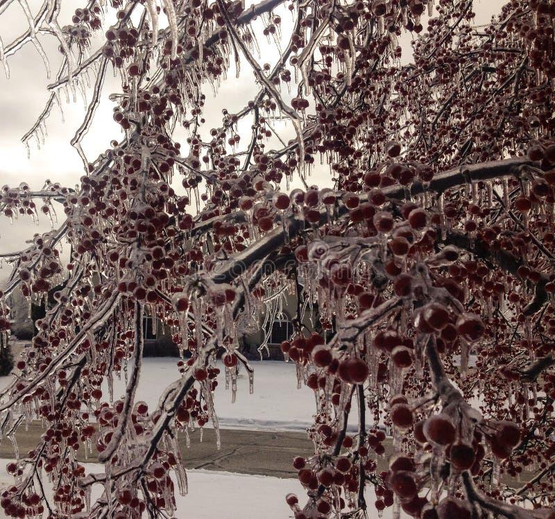 Crabapples που συντηρείται έγκαιρο μετά από τη θύελλα πάγου στοκ εικόνες