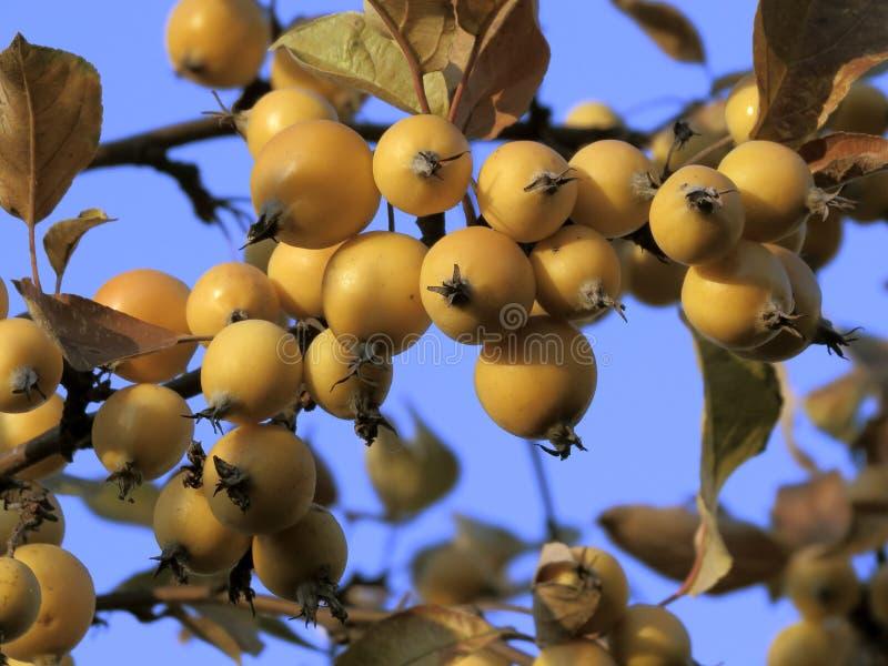 Crabapples no ramo (por do sol) fotografia de stock royalty free