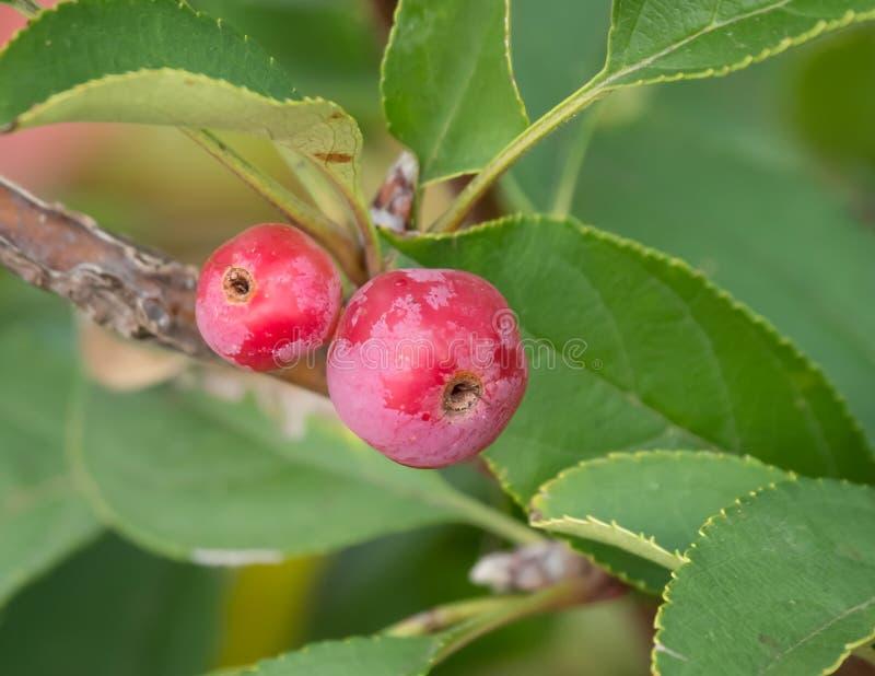 Crabapples rojos de maduración en el árbol imagenes de archivo