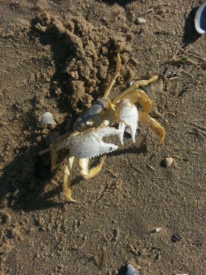 Crabby na praia foto de stock
