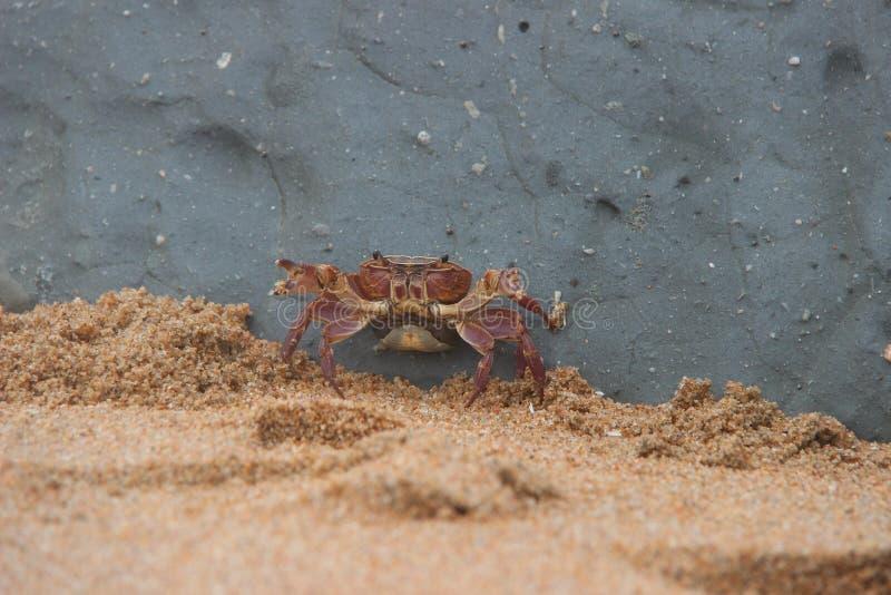 Crabe 1 photo libre de droits
