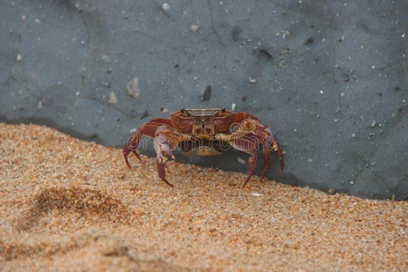 Crabe 2 photos libres de droits