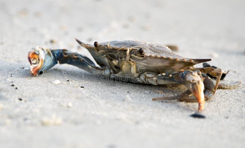 Crabe bleu atlantique sur la plage, Hilton Head Island, la Caroline du Sud photographie stock libre de droits