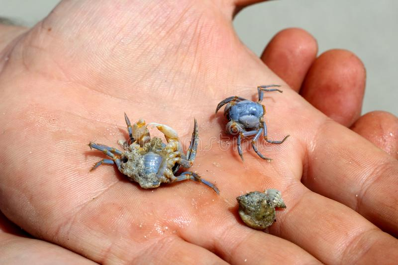 Crabe bleu sur la paume photo libre de droits