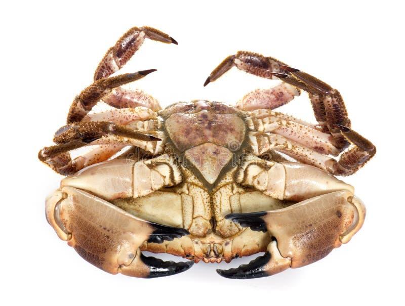 Crabe brun comestible photo stock