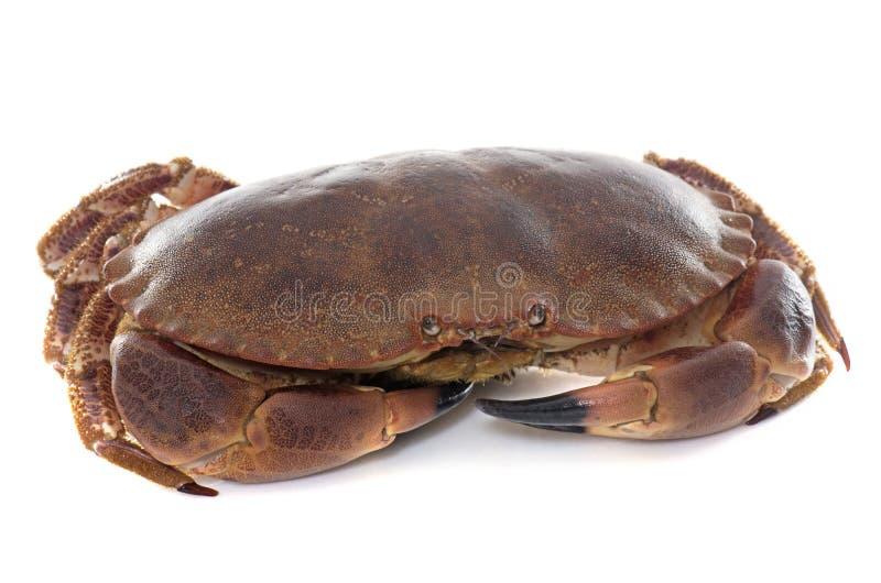 Crabe brun comestible photos libres de droits