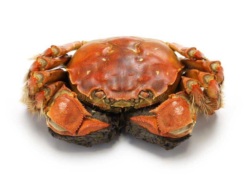Crabe chinois cuit à la vapeur de mitaine, crabe velu de Changhaï images libres de droits
