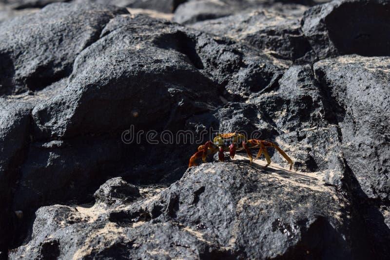 Crabe coloré chez le Brésil photo stock