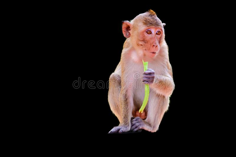Crabe-consommation du Macaque image stock