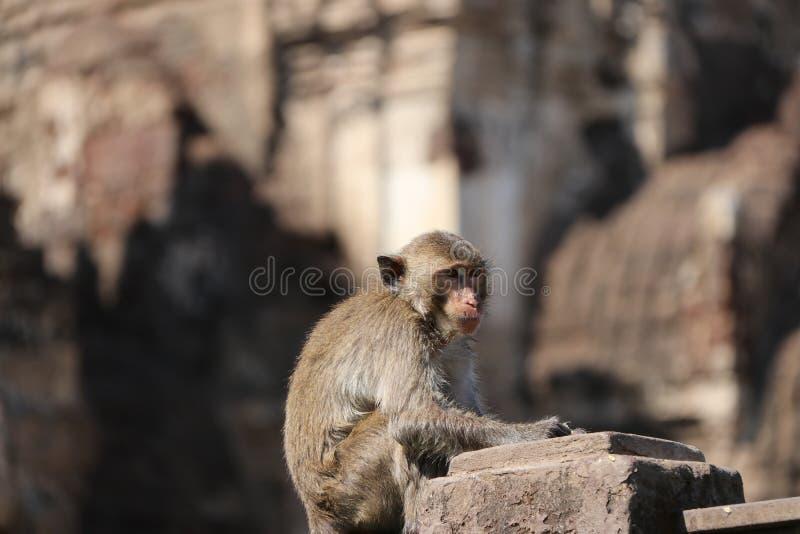 Crabe-consommation du singe de Macaque se reposant sur le poteau de mortier image stock