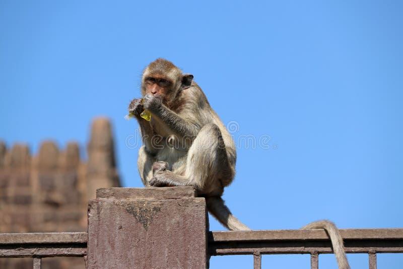 Crabe-consommation du singe de Macaque se reposant sur le poteau de mortier de la barrière photographie stock libre de droits
