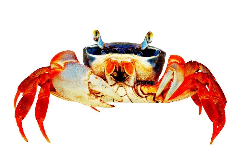 Crabe d'arc-en-ciel photo libre de droits