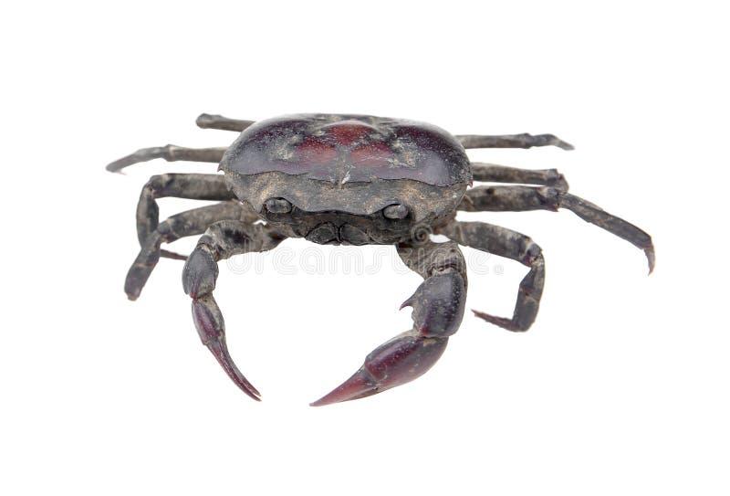 Crabe d'eau douce d'isolement sur le fond blanc Crabe d'eau douce de la Thaïlande photographie stock