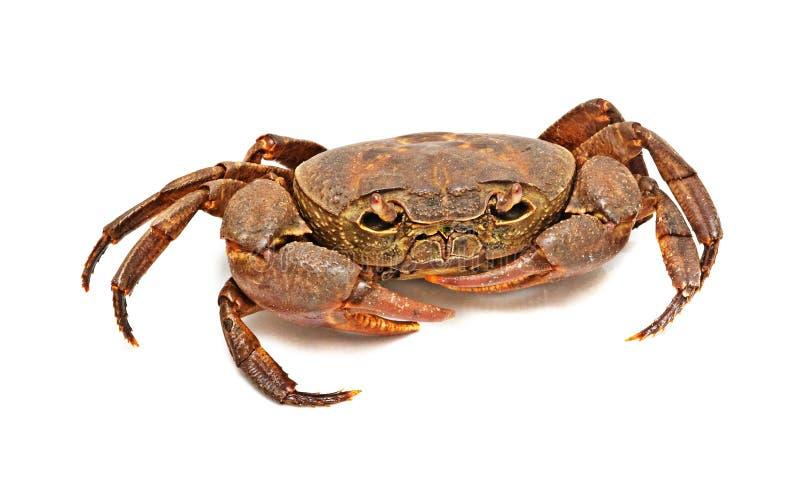 Crabe d'eau douce Semi-terrestrial images stock