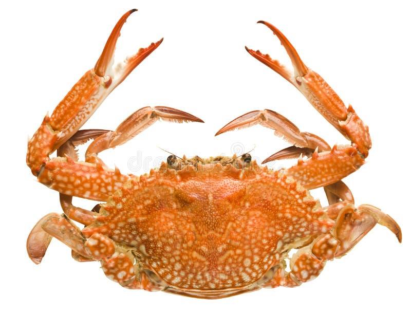 Crabe d'isolement sur le fond blanc photographie stock