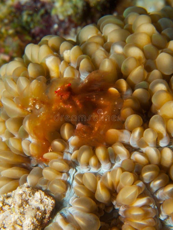 Crabe d'orang-outan photographie stock