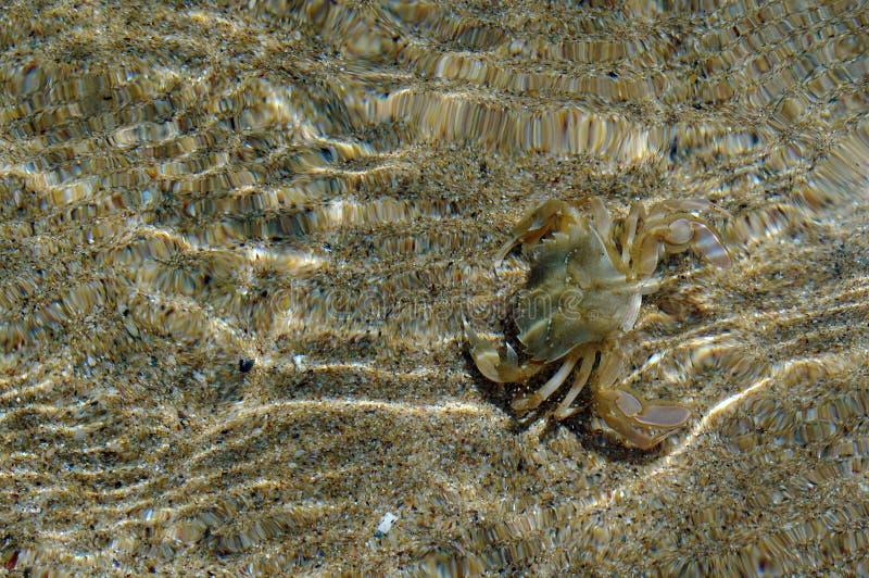 Crabe dans l'eau photo libre de droits