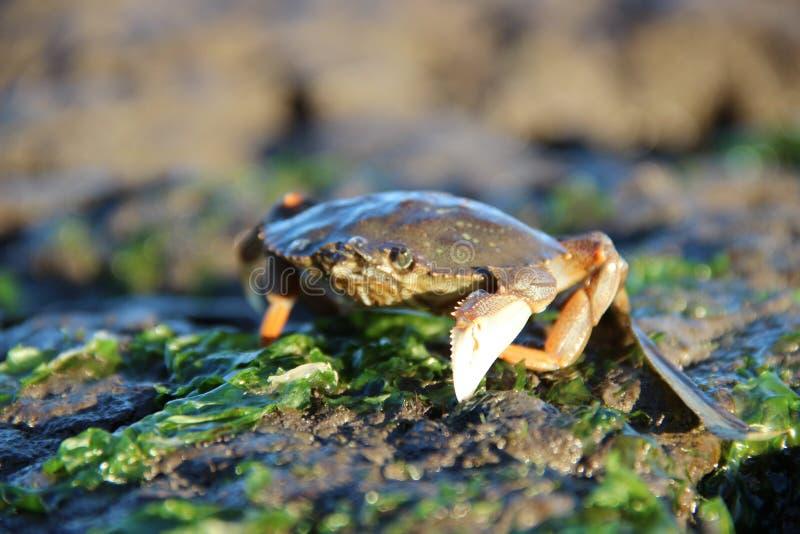 Crabe de bébé photographie stock