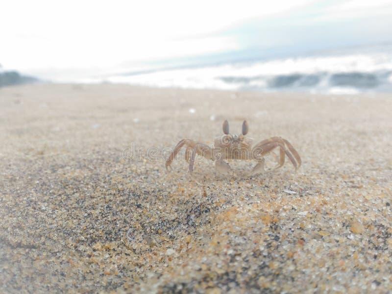 Crabe de bébé image libre de droits