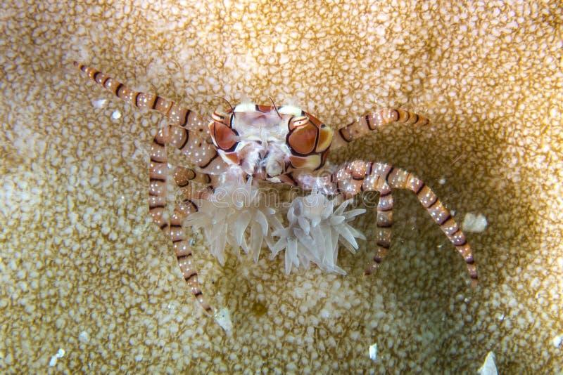 Crabe de boxeur photos libres de droits