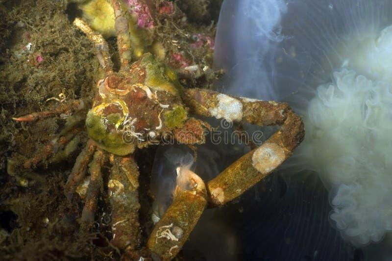 Crabe de décorateur photo stock