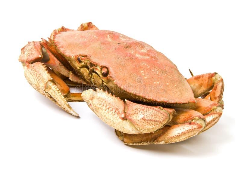Crabe de Dungeness d'isolement sur le blanc photo libre de droits