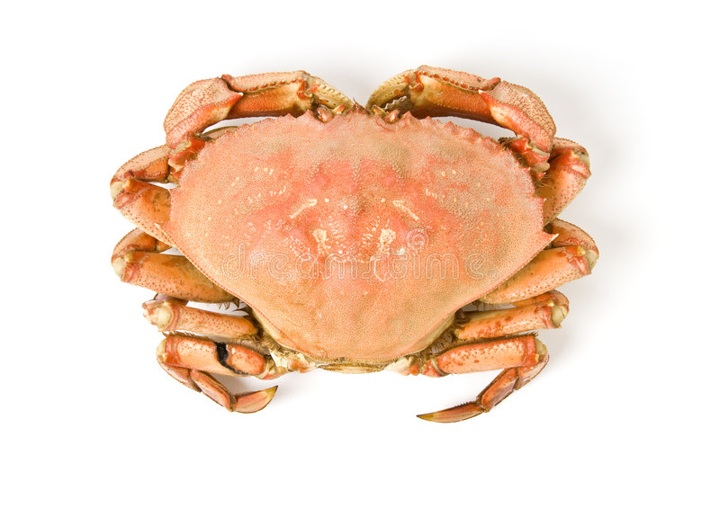 Crabe de Dungeness d'isolement sur le blanc photographie stock