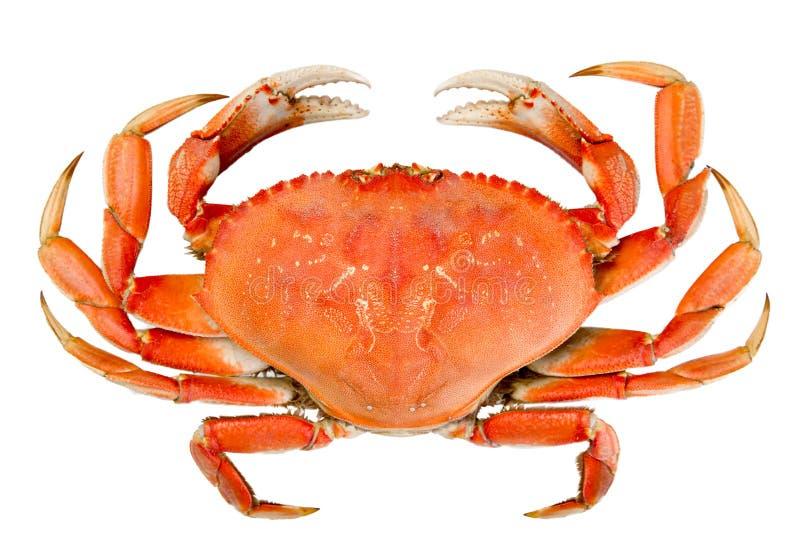 Crabe de Dungeness entier d'isolement images libres de droits