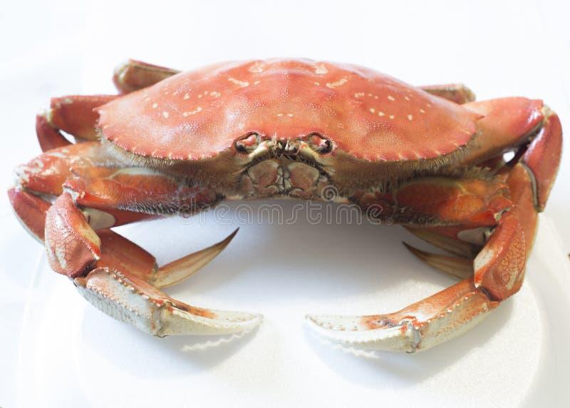 Crabe de Dungeness entier d'isolement photo stock
