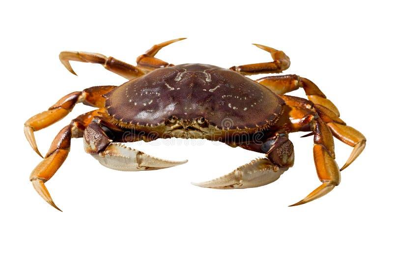 Crabe de Dungeness (magister de Metacarcinus) images libres de droits